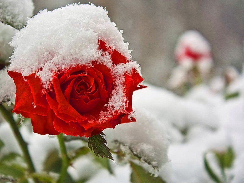 Spring rose snow red flower early kenneth - Rose in snow wallpaper ...