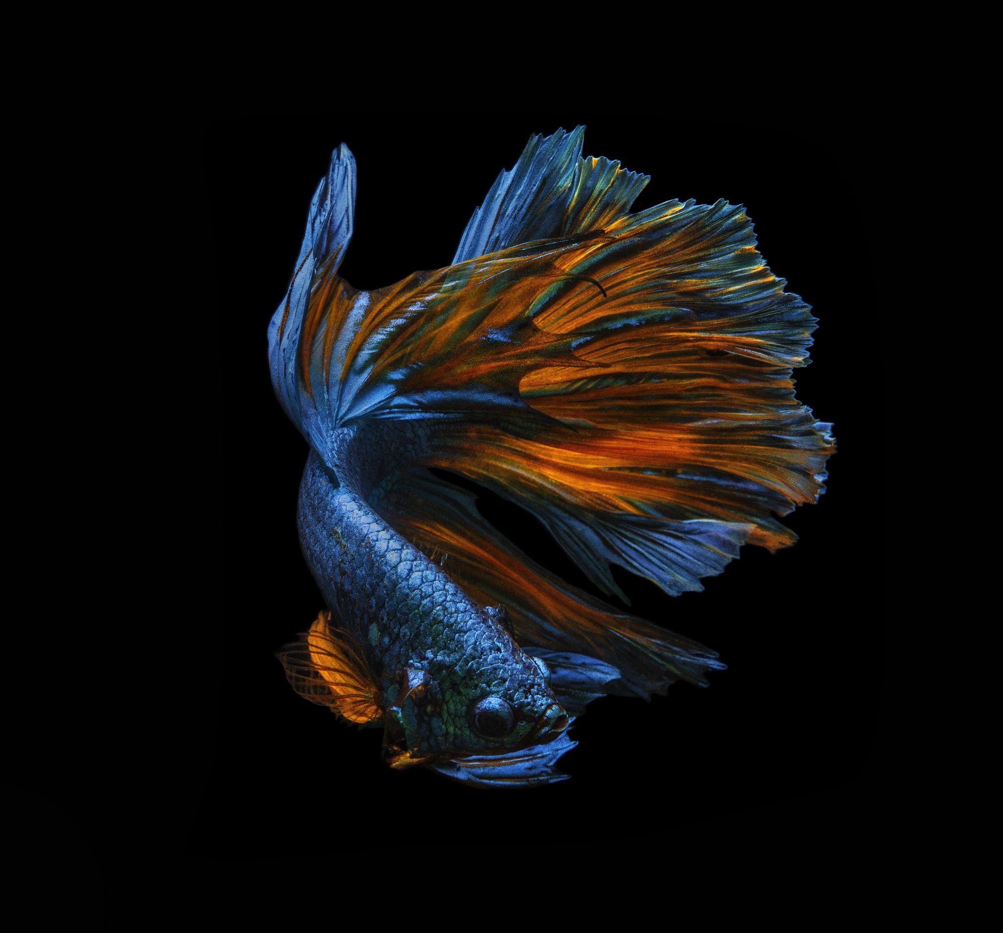 Ikan Cupang Fancy Aoc