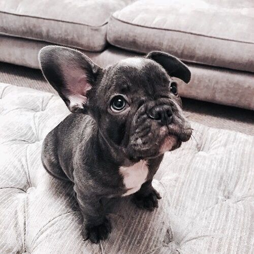 Yes Yes Little Cute Doggy I Ll Give You A Treat Susse Tiere Franzosische Bulldoggenbabys Tiere