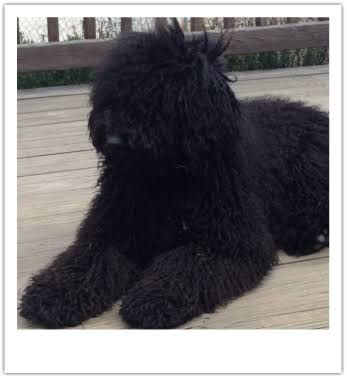 Image Result For Standard Poodle Long Hair Standard Poodle Cute Animals Doggy