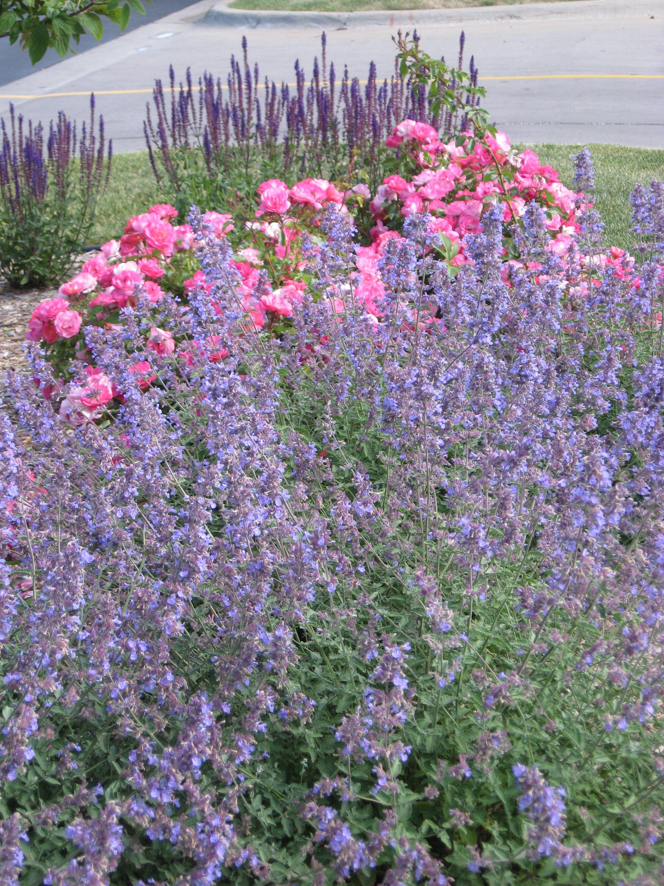 nepeta walker s low shrub rose sunrise sunset and salvia