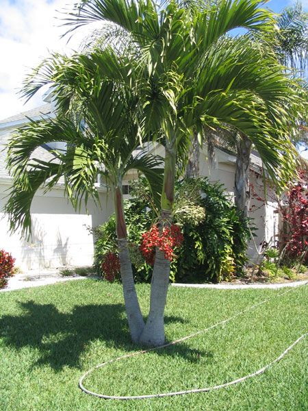 Everyone Loves Palm Trees A Great Guide To Self Cleaning Palms