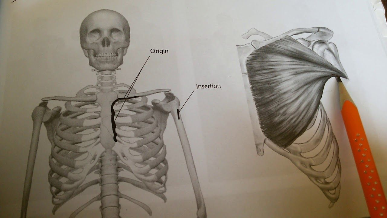 اخطاء شائعة عن تمارين الصدر باالشرح من الكتاب لن تصدق مبني علي اسس علمية Male Sketch Humanoid Sketch Art