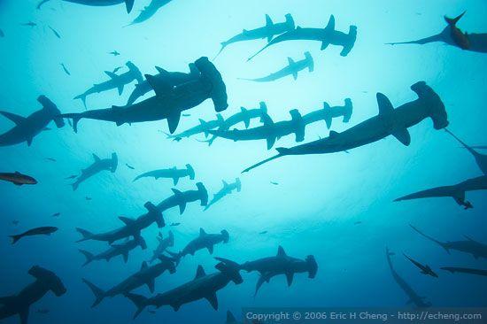 hammerhead sharks and whale sharks galapagos
