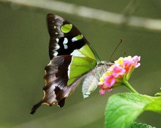 Macleay S Swallowtail Belongs To The Family Papilionidae The Species Was Named After Alexander Macleay Swallowtail Butterfly Beautiful Butterflies Swallowtail