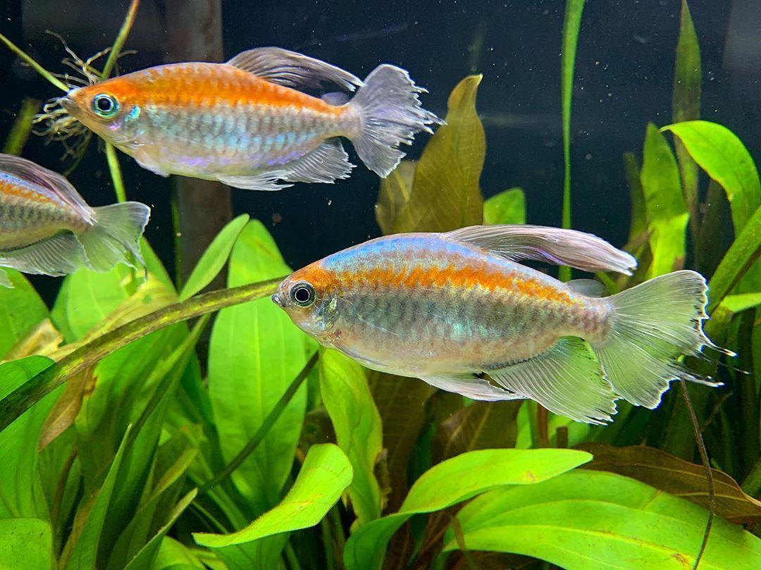 Eric On Instagram Who Else Has Some Congo Tetra Plantedtank Aquascape Aquarium Tropical Fish Tanks Tropical Fish Aquarium Aquarium Fish Tank
