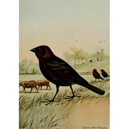Bird Life 1901 Cowbird Canvas Art - Ernest T Seton (18 x 24)
