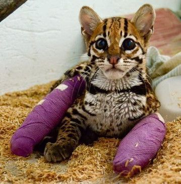 In A First Of Its Kind Surgery Doctors Were Able To Repair This Wild Cat S Shattered Limbs With Plates And She Was Fitted For These Tiny Purple Casts Wild Cats