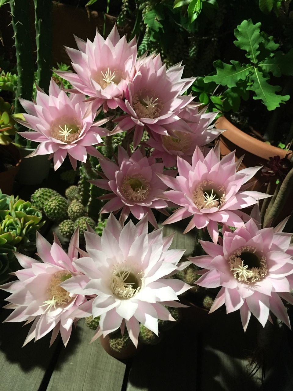 """greenlook-garden: """" No less than 9 flowers in 3 plants. Night vision. Echinopsis oxygona Nada menos que 9 flores en 3 plantas. Visión nocturna. Echinopsis oxygona """" My 2016 favorites: June Mis favoritos de 2016: junio"""