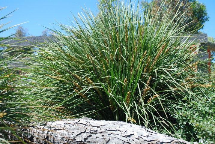 Lomandra Fine N Dandy Pbr Lomandra Plants Grass