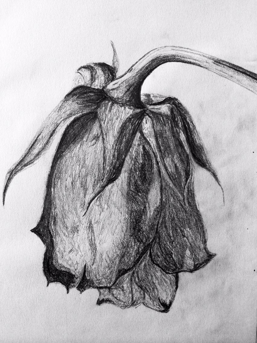 Sketch Of A Wilted Rose Rose Sketch Wilted Rose Roses Drawing