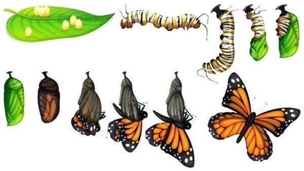 Metamorfosis De La Mariposa Y Sus Etapas Resumen Corto Metamorfosis Mariposa Ciclo De Vida De La Mariposa Metamorfosis