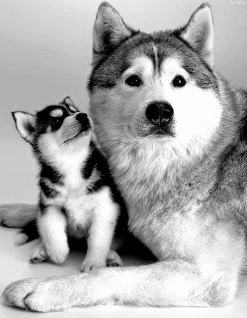 Goberian Siberian Husky Golden Retriever Mix Woobie Needs A