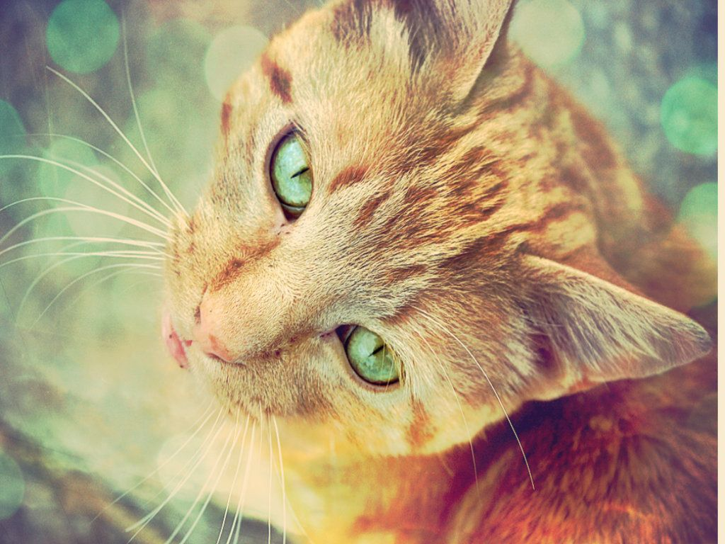 gorgeous cat wallpaper with green eyes | hd wallpapers images