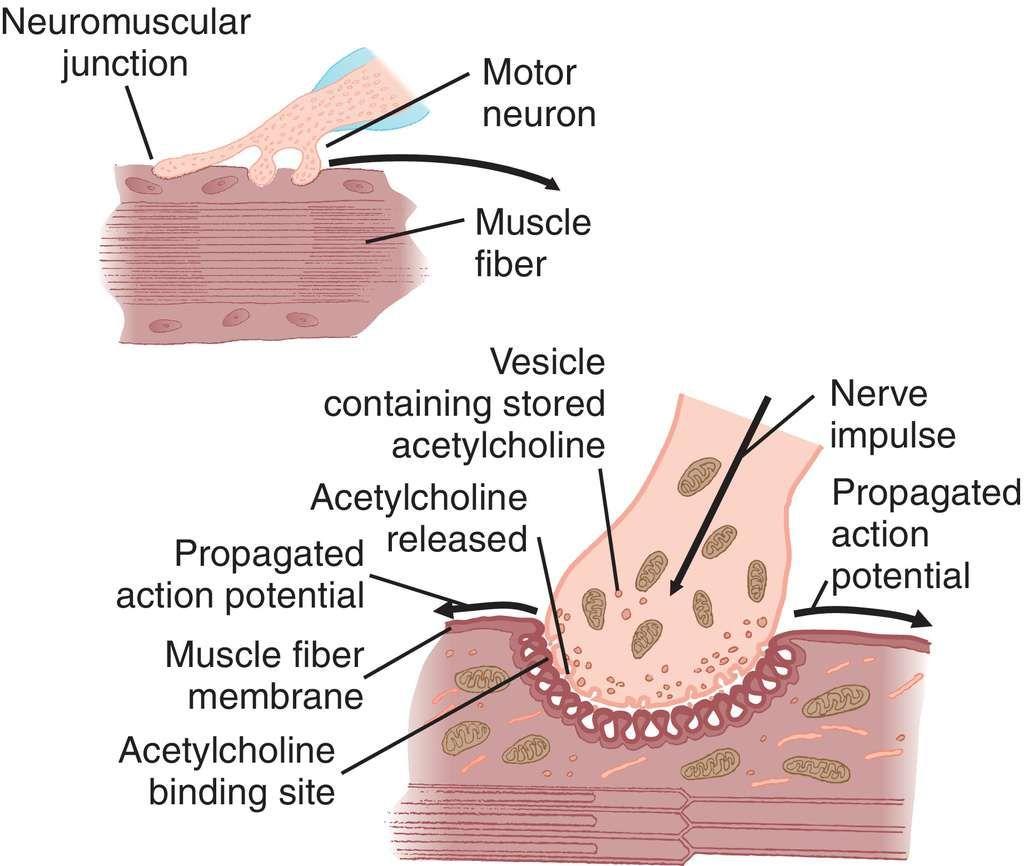 Full Size Picture neuromuscular-junction.jpg | Anatomy | Pinterest
