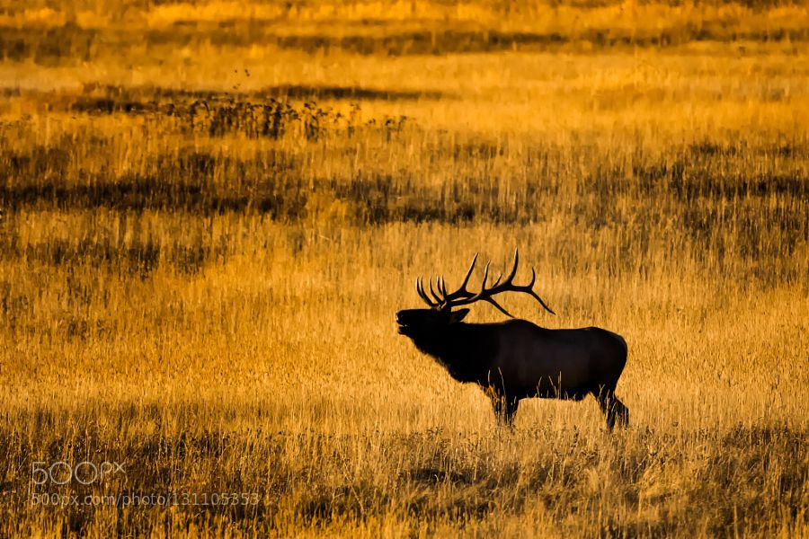 A Call For Legacy - Pinned by Mak Khalaf A mature wild bull elk bugles in hopes of attracting a suitable cow to mate with in the evening light during the annual rut in the Moraine Valley - Rocky Mountain National Park CO Animals 20157D Mark IICanonTStark.comTed StarkTheodoreTheodore A. Stark by theodorestark