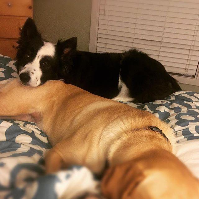 Sweet Jack laying on his sister.  Good Night.  #bordercollie #americanlabrador #bordercolliesofinstagram #yellowlab