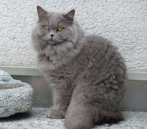 Bildresultat For Grey British Longhair Russian Blue Cat Russian