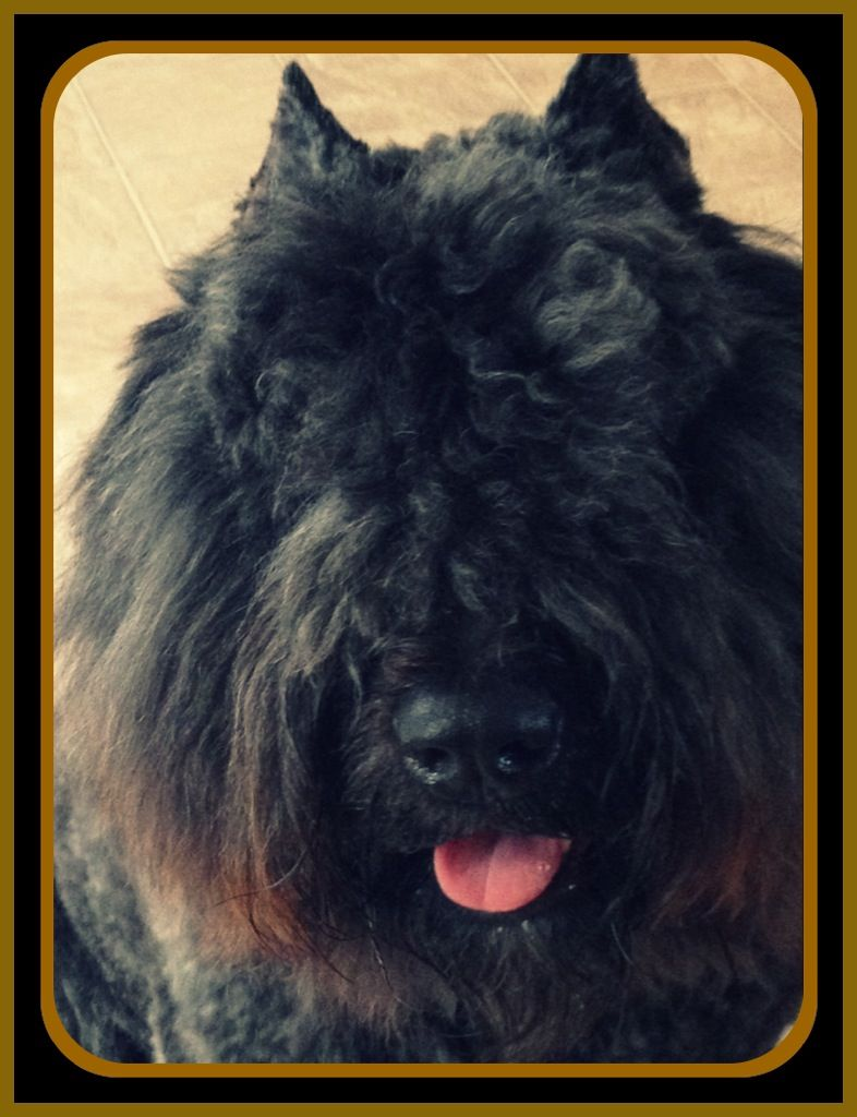 Bouvier dog Found at bouvier des Flandres talk Facebook