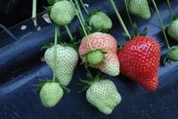 jordbærsorter