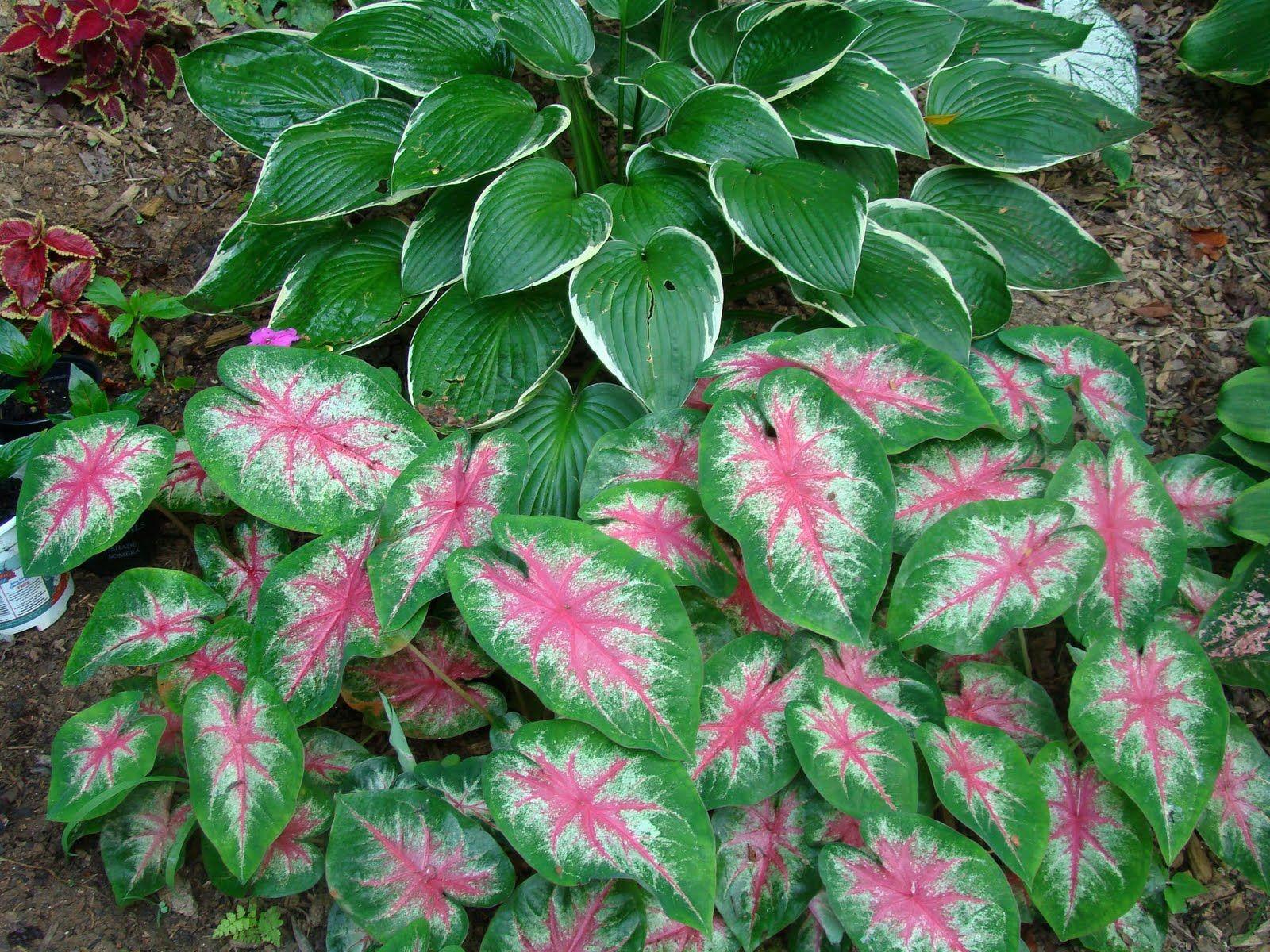 Caladium Pictures Shade Plants Plants Hosta Gardens