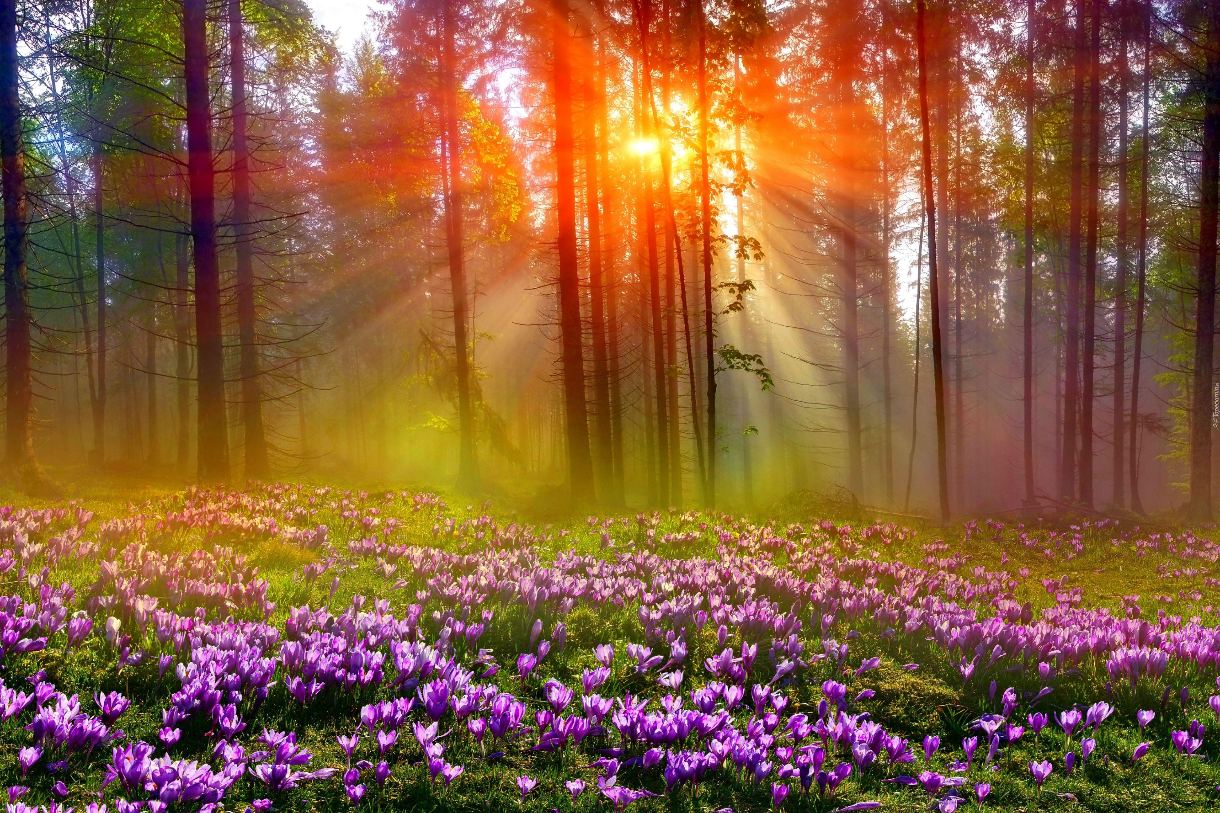 Las Drzewa Mgla Promienie Sloneczne Swit Jesienne Krokusy Beautiful Nature Nature Winter Trees