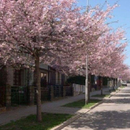Prunus Accolade Japanese Cherry Tree Bare Root Trees Cherry Fruit Tree Japanese Cherry Tree Flowering Cherry Tree