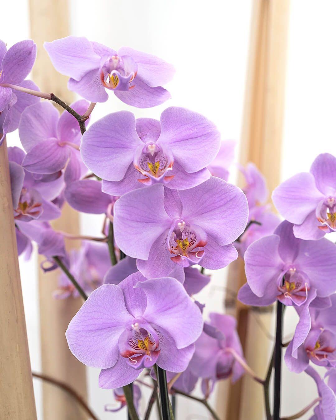 Bunga Anggrek Sering Menjadi Idaman Karena Memiliki Kelopak Yang