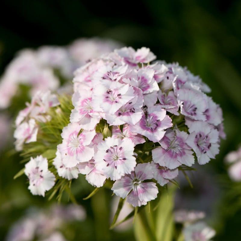 Rosliny Jednoroczne I Dwuletnie Do Ogrodu Katalog Roslin Zielony Ogrodek In 2020 Rosliny Ogrod Begonia