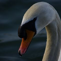 http://yourshot.nationalgeographic.com/tags/swan/