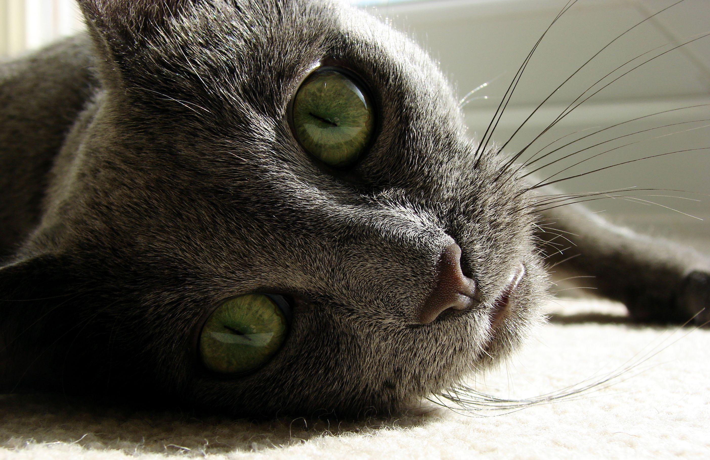 Colour Predictor For Cats Google Search Russian Blue Cat Blue Cats Russian Blue