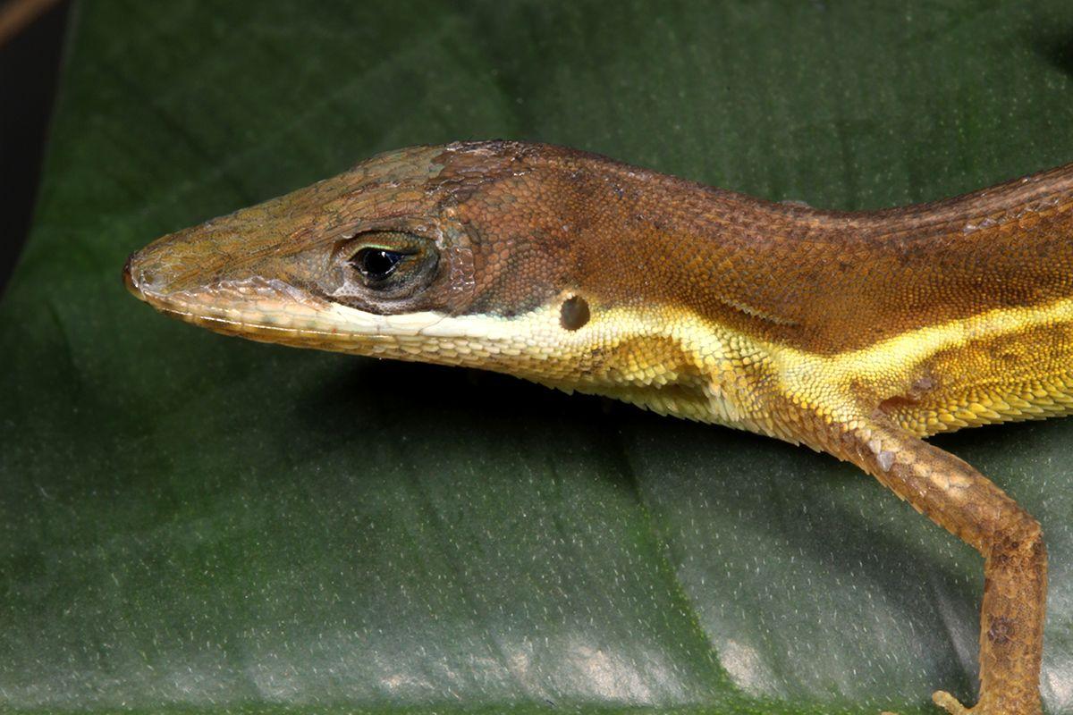 Hispaniolan grass anole anolis semilineatus reptiles lizards