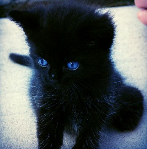 I Want A Black Kitten With Blue Eyes Gorgeous Cats Cute Black Kitten Cute Animals