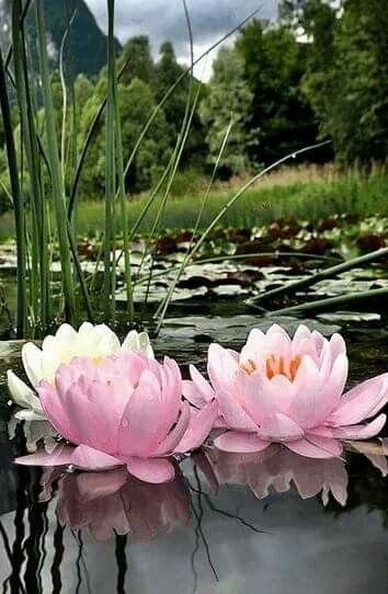 Water lily lotus pinterest water lilies water and lotus different types of flowers with names meanings and types of flowers with pictures mightylinksfo
