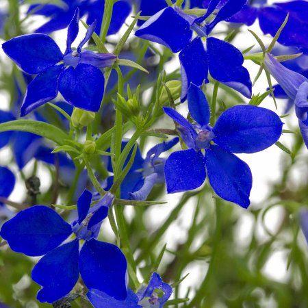 Lobelia Flower Garden Seeds Regatta Series Midnight Blue 1000