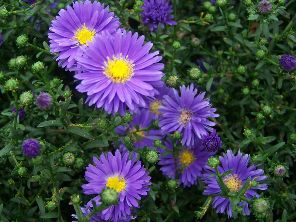 Stokes Aster Flowers Visit Shipshewana In 2020 Aster Flower Flowers Perennials Autumn Garden