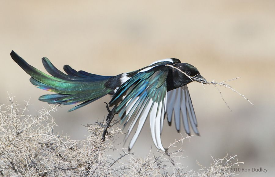 black-billed magpie (photo by ron dudley) birds of a feather