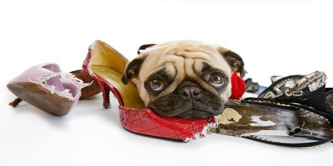 Conoce aquí el método para eliminar los malos hábitos de tu cachorro y olvídate de los ladridos excesivos y de tus zapatos mordisqueados. Clic Aquí>>> http://sobreperrosygatos.com/eliminar-malos-habitos-en-cachorros/