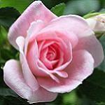Micro Miniature Rose Bushes Rose Love Flowers Rose Bush