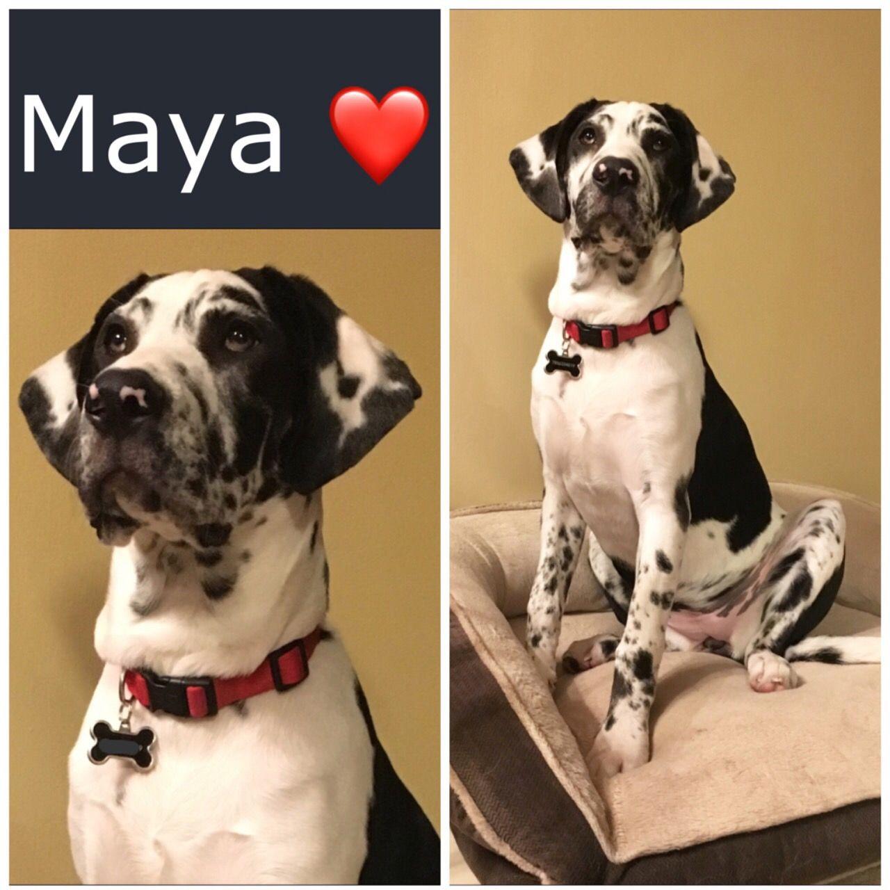 Maya At 5 Months Harlequin Labradane Dogs Animals 5 Months