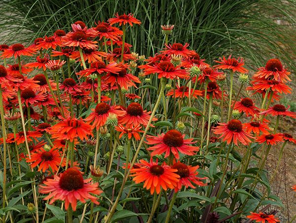 Buy coneflower Echinacea 'Hot Lava (PBR)': Delivery by Crocus