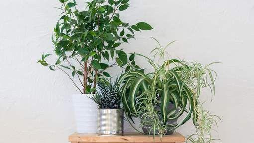 15x Eucalyptus Huis : Zuivere lucht in huis deze planten zijn de ideale luchtverfrisser