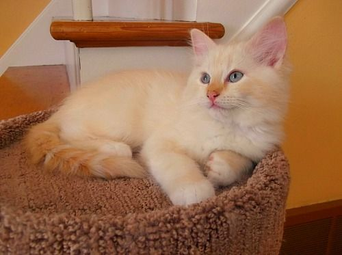 Flame Mitted Mink Male Ragdoll Kitten Chatabelles Cattery