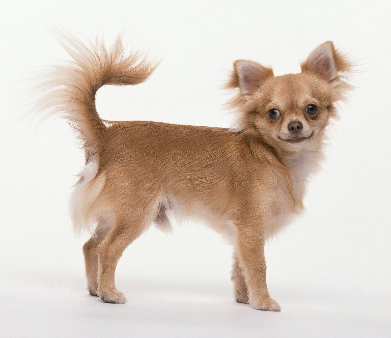 cute chihuahua Chihuahua welpen