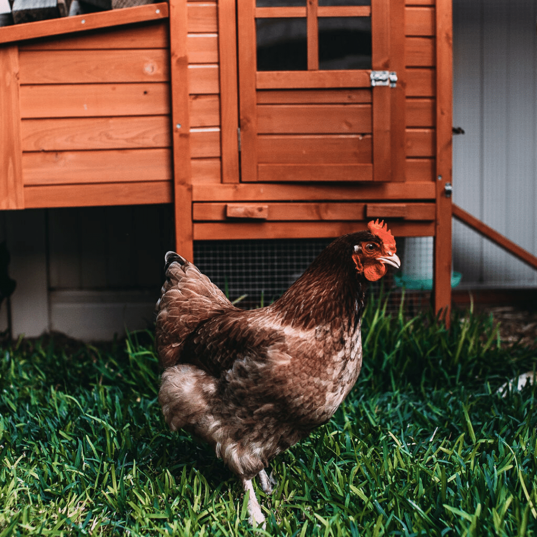 Keep Your Flock Healthy in 2020   Poultry health, Backyard ...