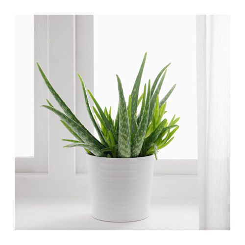 Aloe Vera Potted Plant Aloe 12 Cm In 2019 Flora Fungi Aloe