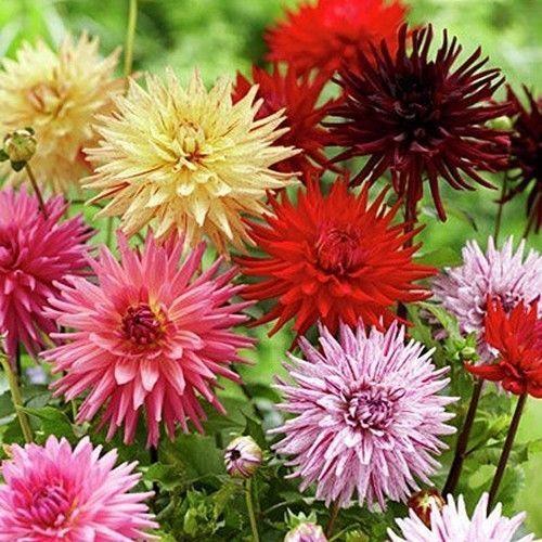 Dahlia Cactus Mix Flower Seeds Dahlia Variabilis 30 Seeds Flower Seeds Bulb Flowers Dahlia Flower