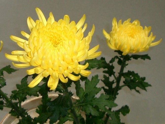What Is The Meaning Of The Chrysanthemum Kiku In Japanese Culture Chrysanthemum Chrysanthemum Flower Flowers