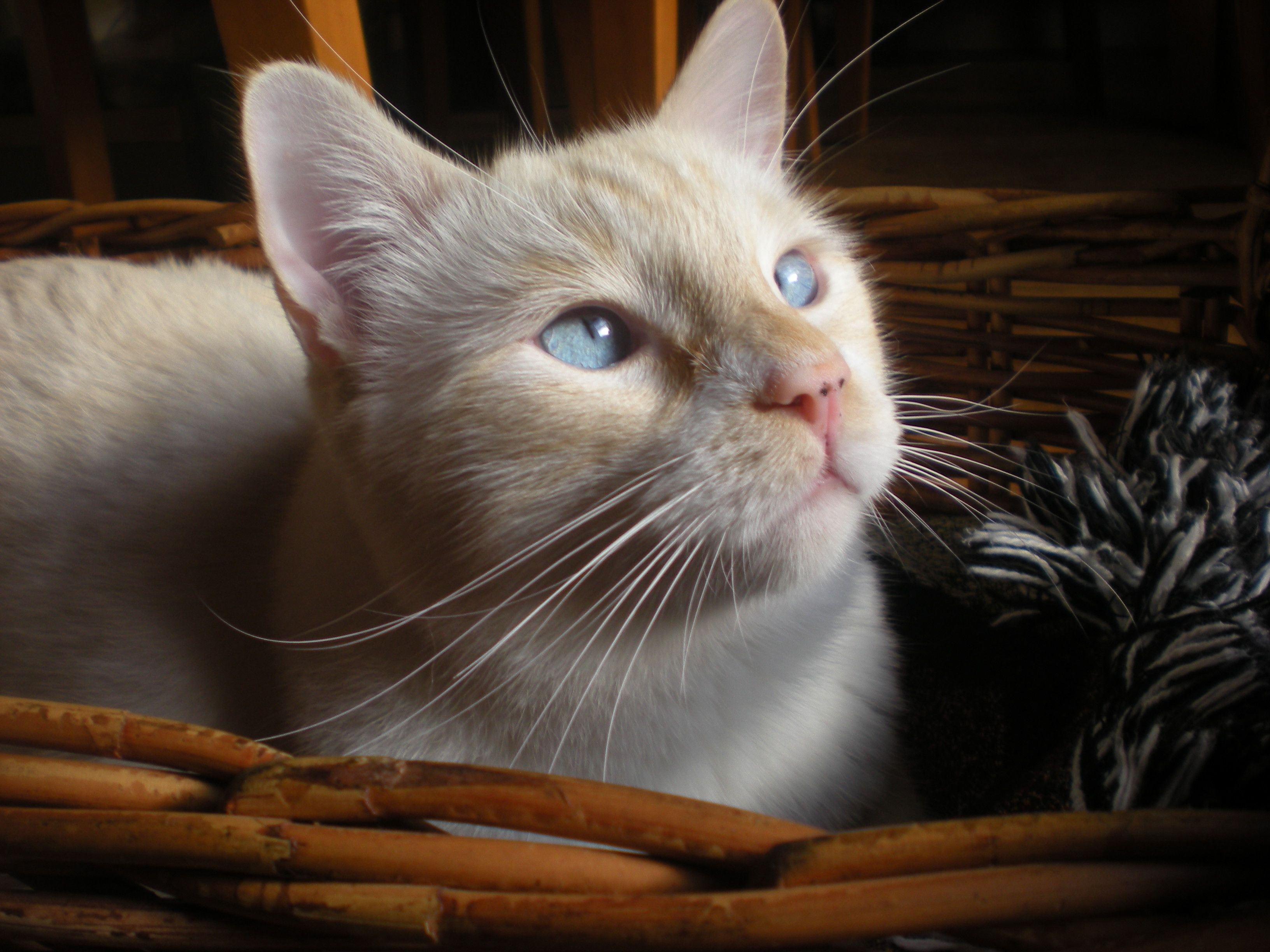 Snowy, our flame point Siamese. We found him at the SPCA. He was ~2yrs old. What a great kitty!!! Gorgeous!
