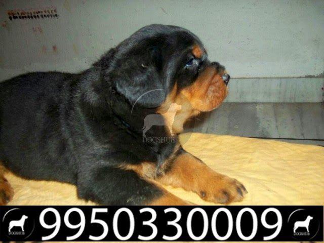 Labrador German Shepard Pug Rottweiler Puppies For Sale Jaipur